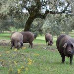 cerdo iberico alimentacion