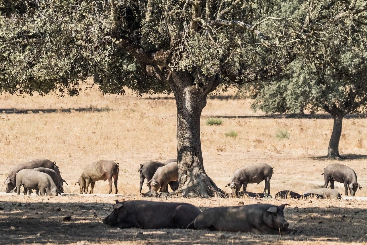 razas cerdo iberico