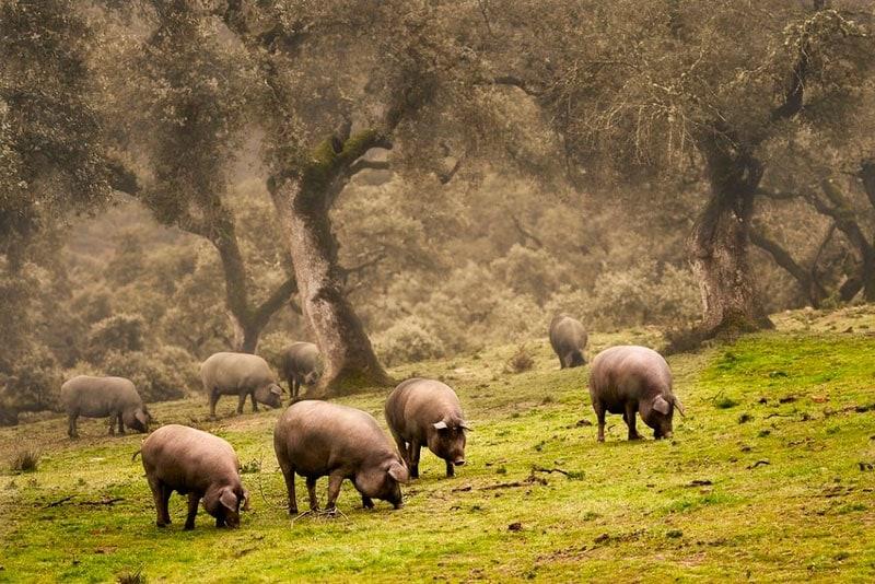 Qué comen los cerdos de jabugo
